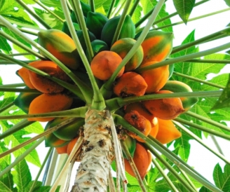мангустин фрукт википедия