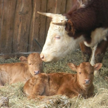 Премікс для телят і корів - марна трата грошей?