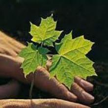 Нехай ростуть та плодоносять: елітні сорти саджанців винограду!