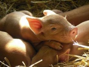Добавки для свиней і поросят: зміни не змусять чекати