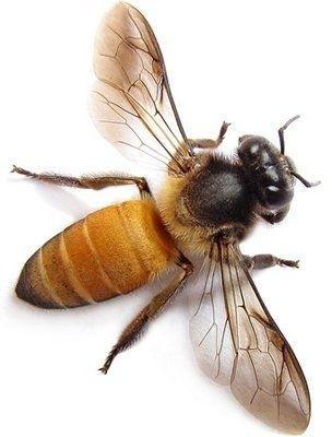 Хвороби бджіл: профілактика і лікування