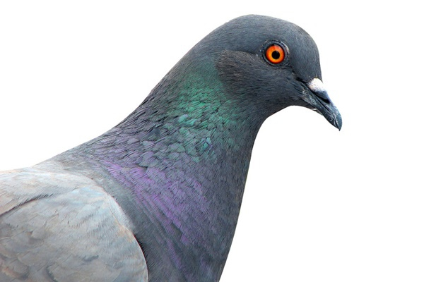 Рекомендації щодо вакцинації голубів від хвороби Ньюкасла