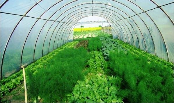 Следствия выращивания в парнике