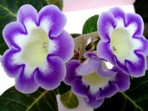 Вирощуємо глоксинії: насіння квітів інтернет магазин