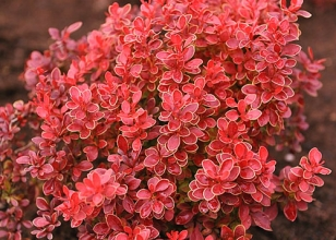 Барбарис Тунберга - яскрава прикраса вашого саду