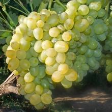 Ранні сорти винограду: десятка кращих