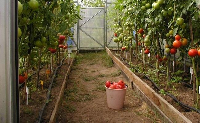 Энциклопедия овощей и фруктов в парниках
