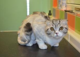 Стрижка котів - що потрібно знати?