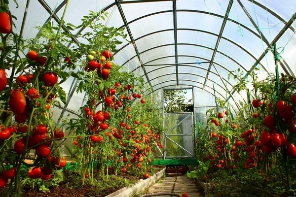 Популярность томатов в парниках.