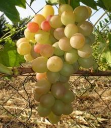 Секрети вирощування винограду