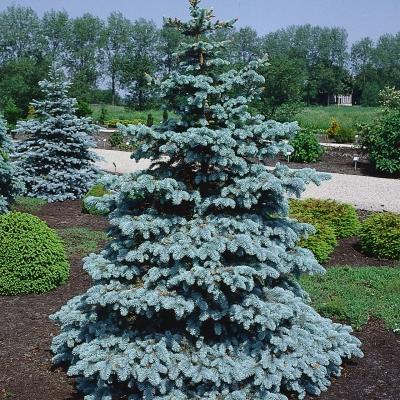 Розплідник хвойних деревСакураСад: ялина — окраса зимового саду