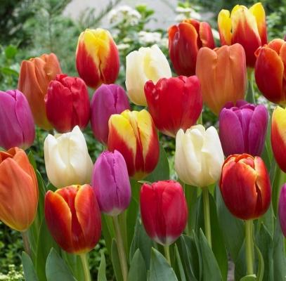Продаж цибулин тюльпанів: готуємо квітник до весни разом!