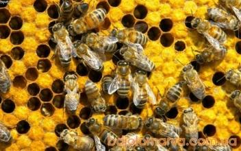 Лікування бджолиною отрутою: покази та протипокази