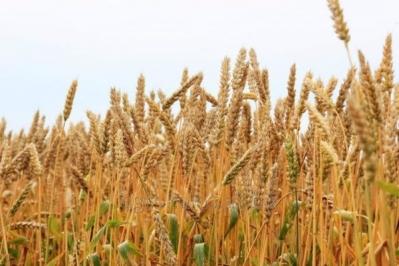 Основні причини, щоб купити елітне насіння пшениці
