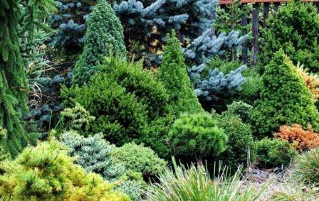 Декоративні хвойні рослини - бездоганний сад увесь рік