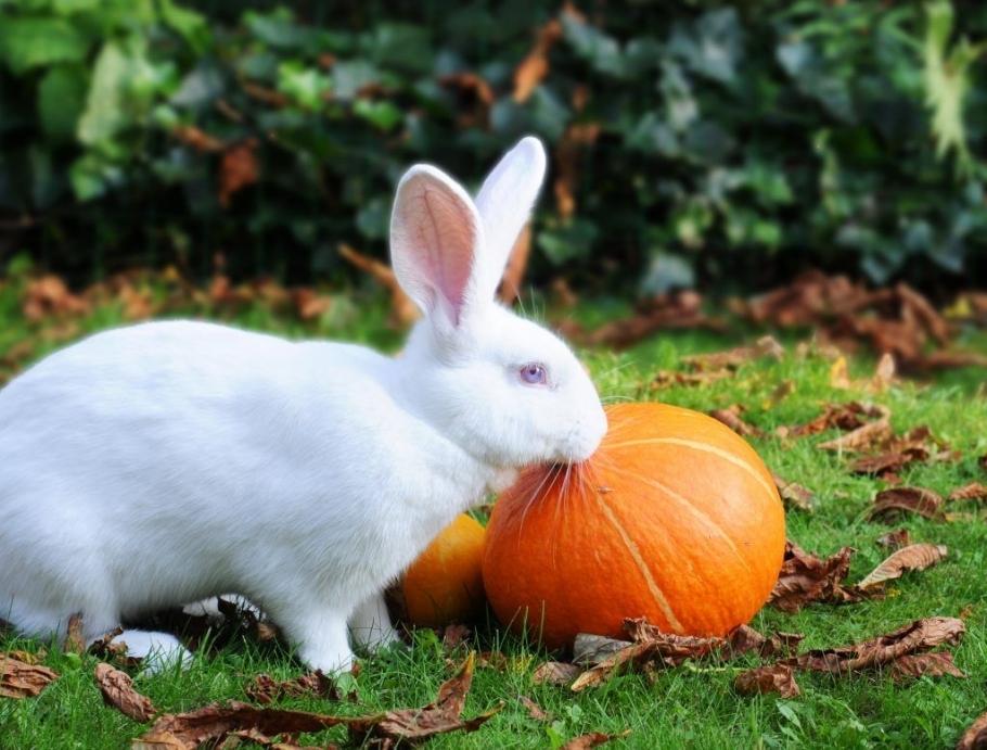 Особенности разведения кроликов-великанов