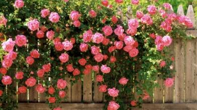 Вьющиеся розы станут ярким украшением Вашего сада