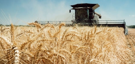 Як виростити щедрий врожай озимої пшениці?