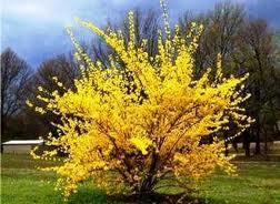 Квіти для озеленення парків- Форзиція зелена.