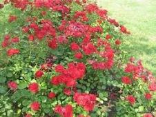 Цветы для садовых участков - Розы 2--х летки