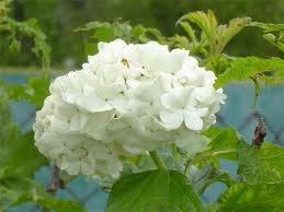 Цветы для озеленения парков-  Спирея Ван Гута
