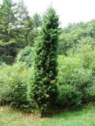 Цветы для озеленения парков - Кипарис вечнозеленый
