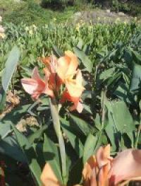 Цветы для озеленения парков- канны