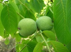Саженцы ореха грецкого купить онлайн