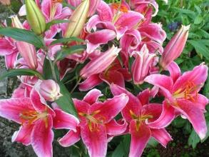 Увага! Цибулинні квіти поштою. Великий вибір. Доступні ціни