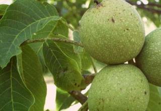 Саджанці грецького горіха (Молдова)