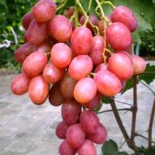 Не знаете, где купить саженцы винограда Анюта? Тогда Вам сюда!