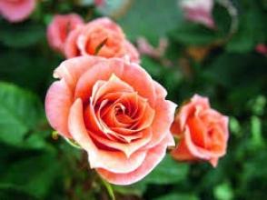 Хотите купить саженцы роз почтой? Обращайтесь к нам!