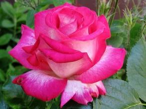 Пропонуємо купити троянди поштою