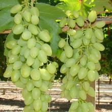 Покупайте саженцы винограда Долгожданный оптом