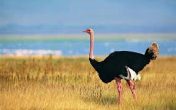 Купить страусов для разведения можно у нас