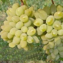 Реалізуємо саджанці винограду Тимур оптом