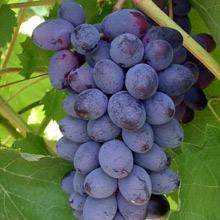 Купити саджанці винограду Юпітер