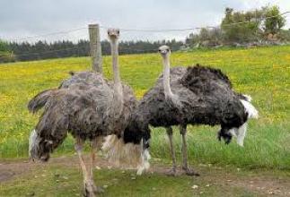 Купить страуса недорого можно в компании «Вектор»