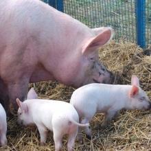 Пропонуємо купити добавки для свиней