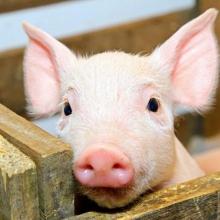 Реалізуємо концентрати для свиней
