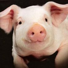 Покупайте бмвд для свиней