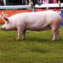 Цікавить годування свиноматок? Клікайте!