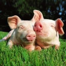 Покупайте премиксы для свиней
