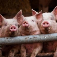 Продаются биодобавки для свиней