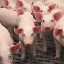 Предлагаем рационы для свиней