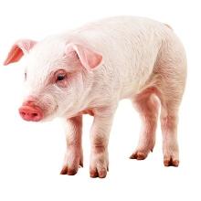 Пропонуємо корми для свиней