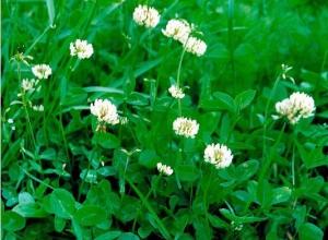 Пропонуємо купити газонну траву в асортименті
