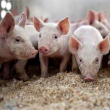 Реалізуємо БВМД для свиней
