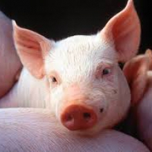 Покупайте премикс для свиней