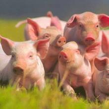 Продається премікс для свиней